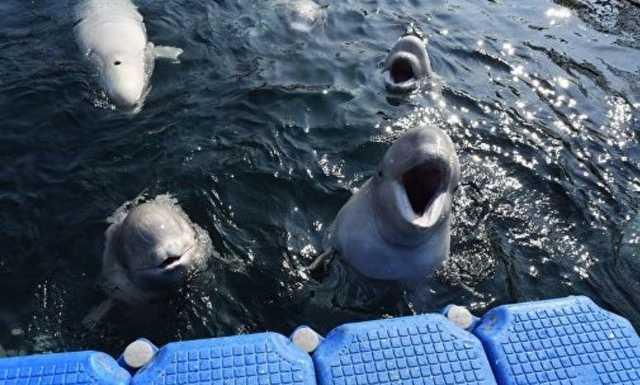 Владелец косаток отказывается выпускать морских животных из китовой тюрьмы