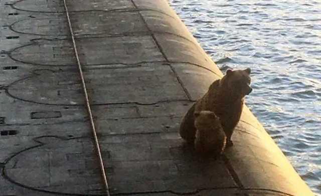 На Камчатке расстреляли медведицу и медвежонка, которые забрались на подводную лодку