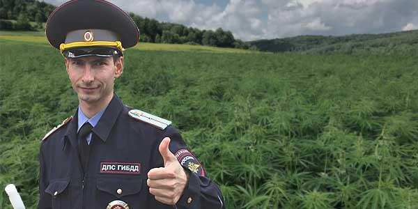 Под Псковом нашли полицейскую плантацию конопли