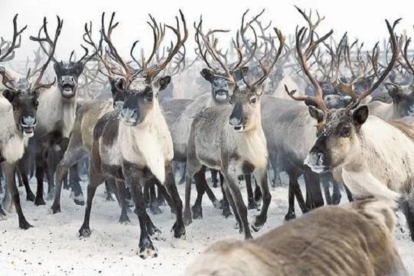 Браконьеры уничтожают на Таймыре северных оленей при попустительстве властей